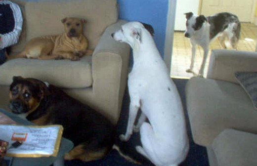 Millie on the settee, with (pictured from left) Buster, Bracken and Blue.