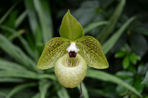 I love this kind of orchid, it is so interesting.  This one ranges from Southern China to Northern Vietnam.  Paphiopedilum - Malipoense.