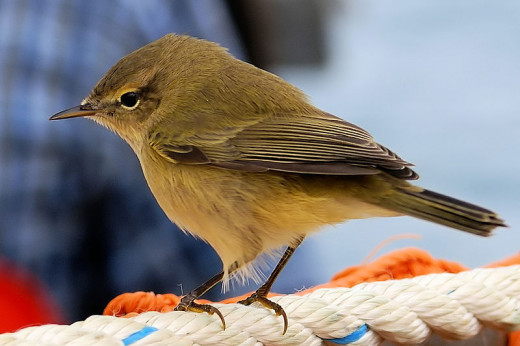 The chiffchaff is one of the easiest bird songs to identify as it literally sings its own name. Its arrival in Britain also serves as a sure sign of the coming of spring.