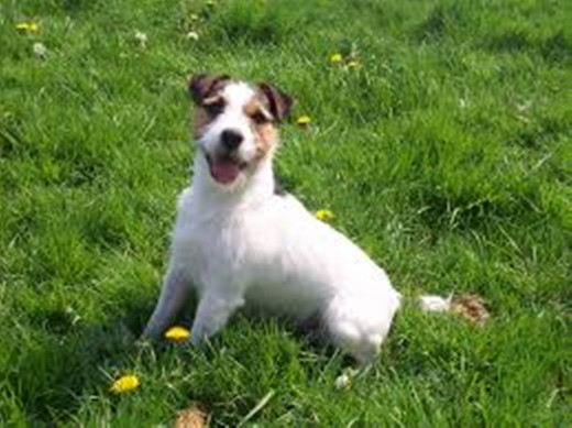 A long-haired Jack Russell was running around on his own and appeared to be in a panic.