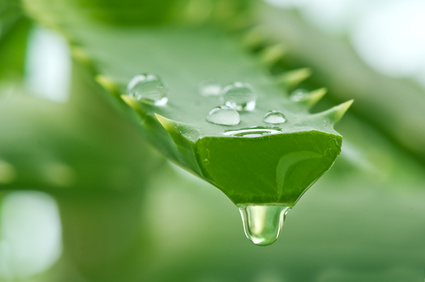 Aloe gel gives health to the skin and body, providing a wide variety of vitamins, minerals, sugars, enzymes and amino acids.