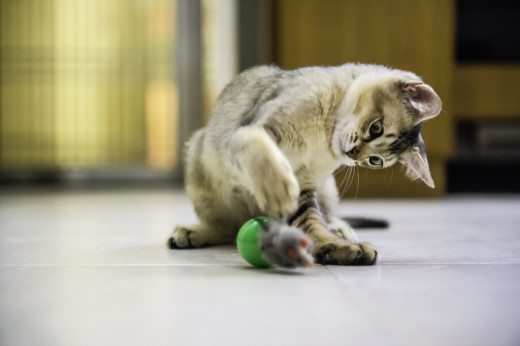 Indoor cats get their exercise through play