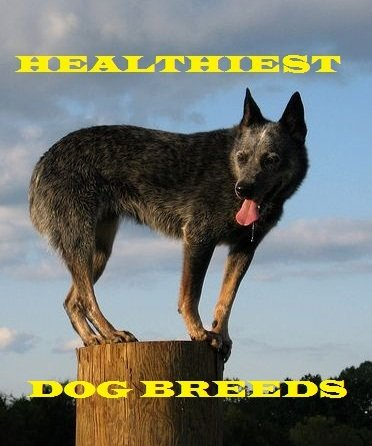 The Australian Cattle Dog is one of the healthiest dog breeds.