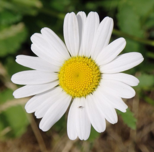 A chamomile flower; chamomile tea may cause oral allergy syndrome symptoms