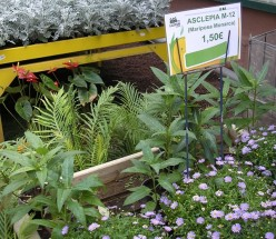 The LalyFlor Garden Center in Tenerife sells milkweed to help monarch butterflies