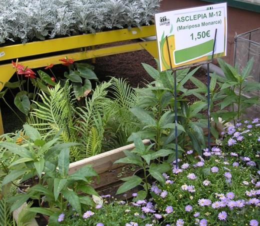 Milkweed on sale at the Lalyflor Garden Center
