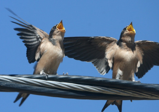 Two birds singing at the same time