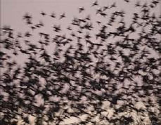 Flocking Black Birds