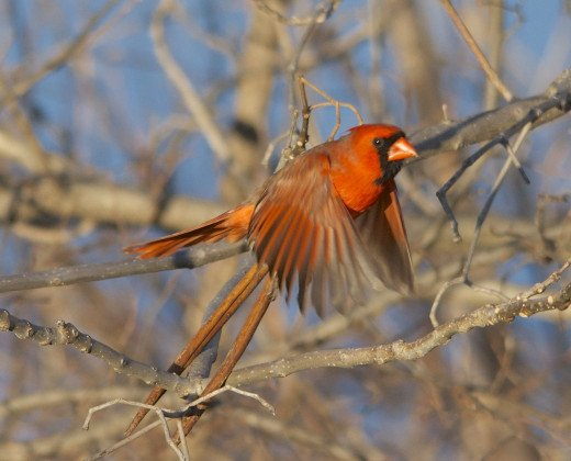 Male Northern Cardinal in Flight
