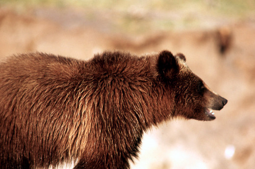 Grizzly bear at Yellowstone. (courtesy of National Park Service)