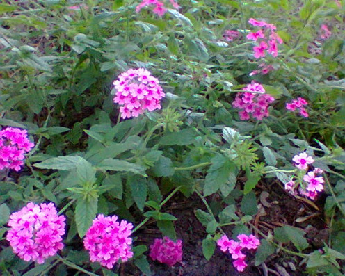 A pink ground cover