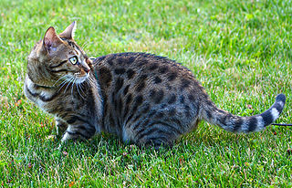 Bengal cat on the lawn.