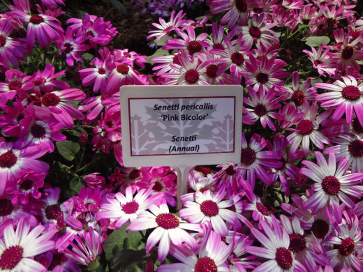 Senetti Pericallis Pink Bi-Color