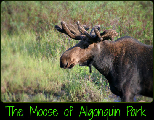 The Moose is the largest mammal found in Algonquin Provincial Park. The park is home to over 3000 Moose.