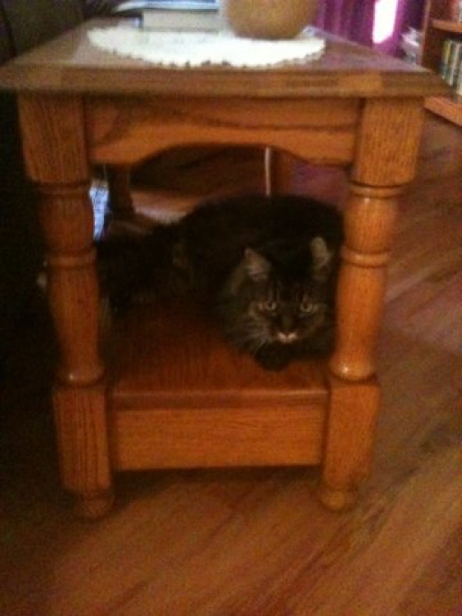 Lucky loves to perch under the coffee table