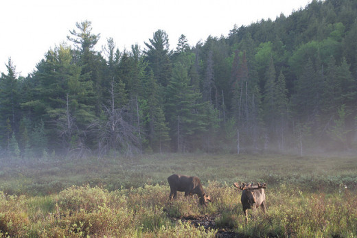 Moose are herbivores. This means their diet is made up of various types of plants and other vegetation. In the Spring the moose in Algonquin Park love to come out and eat the plants along the highway, which are salty from the winter's salt trucks.