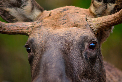 Moose are the largest members of the deer family, but they don't travel in herds the way deer do. Moose are solitary animals.