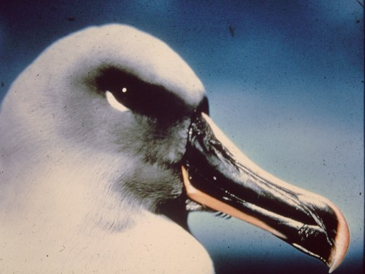 A beautiful sea bird photographed on Macquarie Island - and no, not by me