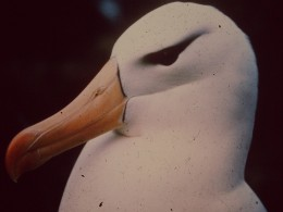 The world largest sea bird, the giant Wandering Albatross.   They're becoming rarer as time goes by.