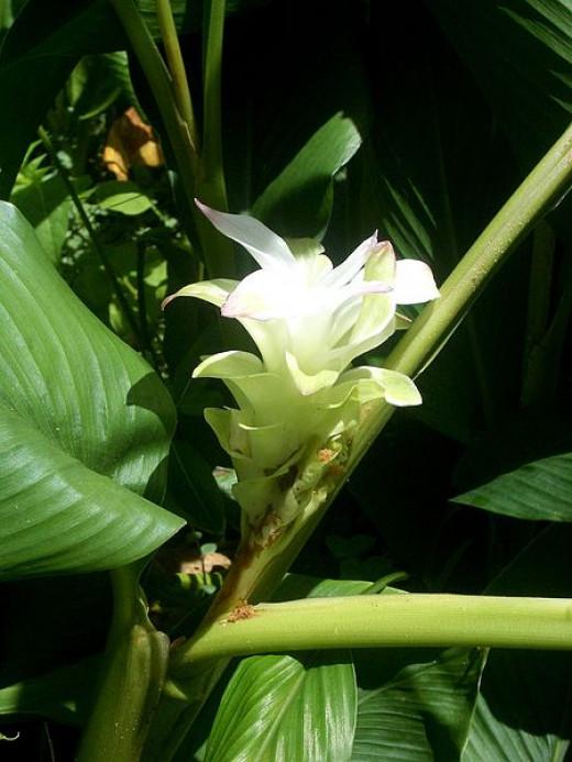 File: White Native Turmeric side view.jpg Author John Hill 2010  CC-BY-SA-3.0