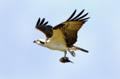 10 Amazing Predatory Birds in Action
