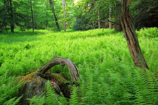 Common fern.