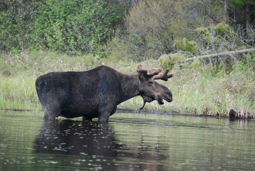 Moose are excellent swimmers. They can hold their breathe for over 30 seconds at a time, can dive up to five metres deep for food and swim a distance of 16 kilometres at a time.