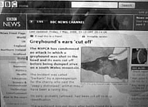 A report on the BBC News website (dated 7 May, 2004) revealed how a greyhound had been found still alive on a Welsh mountain, shot through the head and with his ears cut off. He later had to be euthanized.