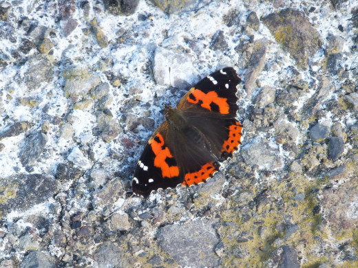 Canary Red Admiral