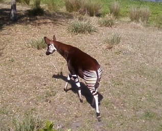 The okapi, relative to the giraffe, carries a distinct design on his backside.