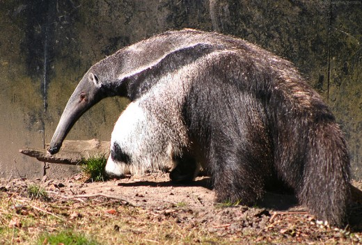 The anteater, nature's vacuum cleaner, complete with a tail-end feather duster!