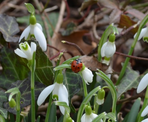 There weren't many flowers, not to mention many bugs this time of year.  So I was thrilled to see this little ladybug on the snowdrop flowers!