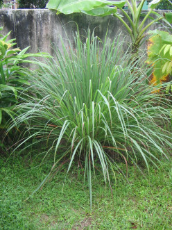 Want to Grow Your Own Lemon Grass in any Climate without Buying an Expensive Plant? Here's how