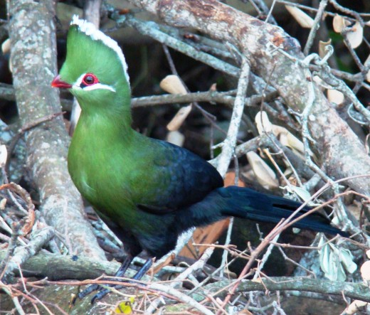 Knysna Turaco, often heard but seldom seen.