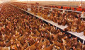 Missouri Lays Egg on California - A Case of the Commerce Clause vs the Immorality of Caged Egg-laying Chickens [236*2]