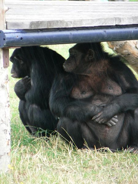 Chimpanzees photo by Rosendahl.  A species we share 99% of our D.N.A. with already.