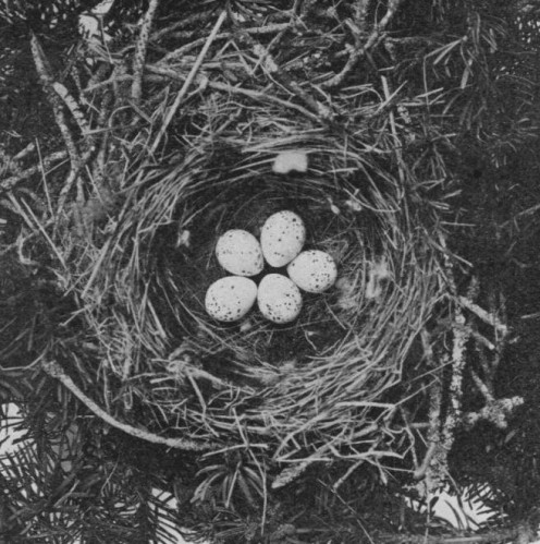 Eggs and nest of Bombycilla garrulus