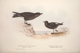 Fork tailed Storm petrel left, and the European Storm petrel right. { Gould -Birds of Europe} 1837