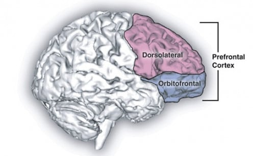 The prefrontal cortex, responsible for executive functions.
