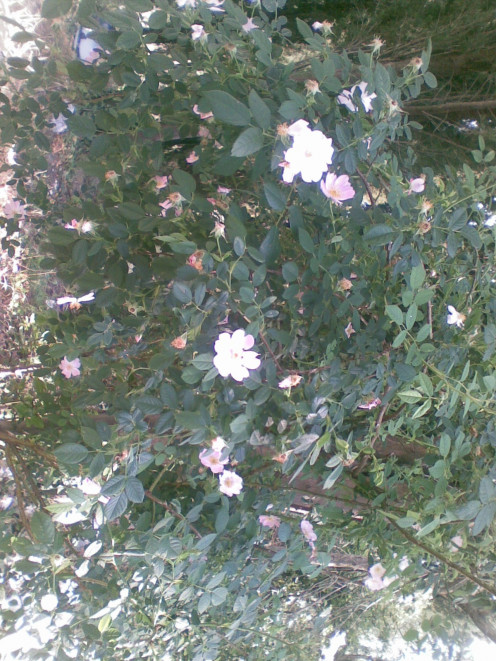 A rose tree  once dried the pods are used for rose tea. I have not tried making the this kind of tea.