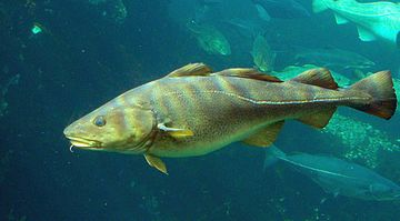 Cod Liver Oil comes from the Atlantic Cod Fish