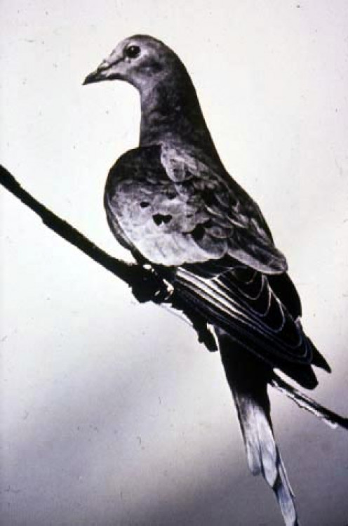 Martha, the last Passenger Pigeon.