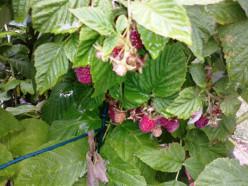 How to Transplant Raspberries