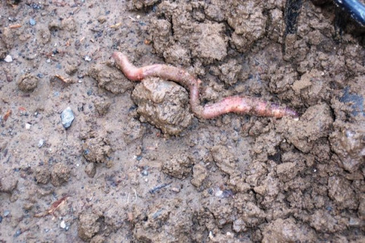 When digging I try not to hurt the earthworms or let them dry out. They are a valuable part of our ecosystem.