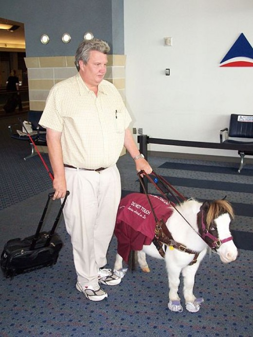Miniature horses are trained as guides. Image courtesy of wikipedia