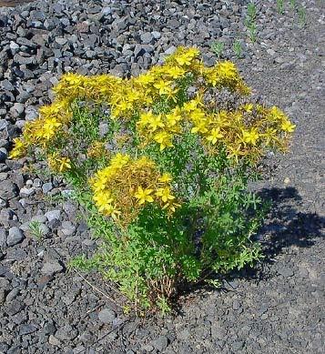 St. John's Wort plant.