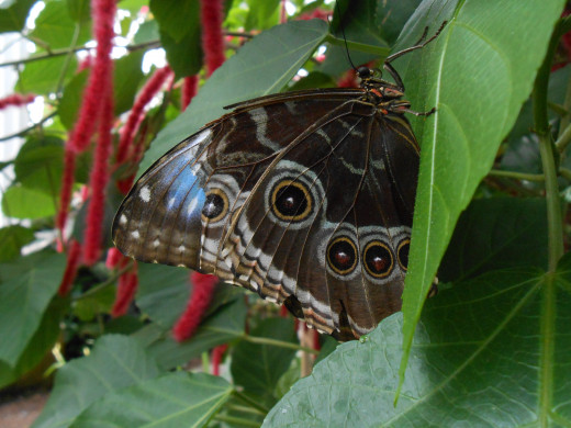 With a little bit clipped off the wing of this blue morpho, you can see both the blue and the brown sides that they sometimes show.  You can see the pink Chenille flower in the background.