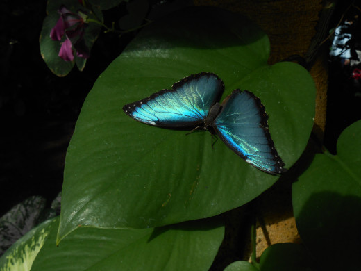 Gorgeous blue morpho butterfly, with the light reflecting beautifully off of his wings, in the sunshine.