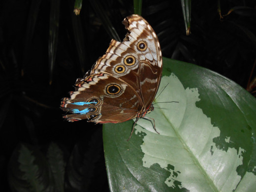This poor morpho's wings have been through quite a bit, but he is still beautiful.  Notice the blue showing through on the one broken part of the wing.