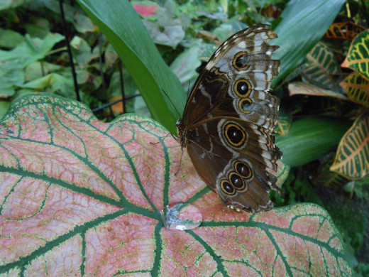 Blue Morpho on a colorful leaf, and with some worn out looking wings.  He is still beautiful though.
